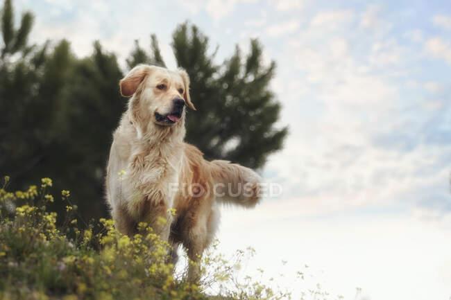 Golden retriever de pé na neve — Fotografia de Stock