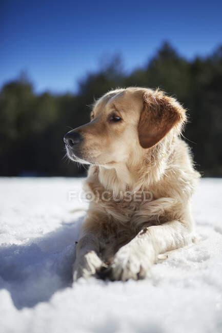 Golden retriever sdraiato nella neve — Foto stock