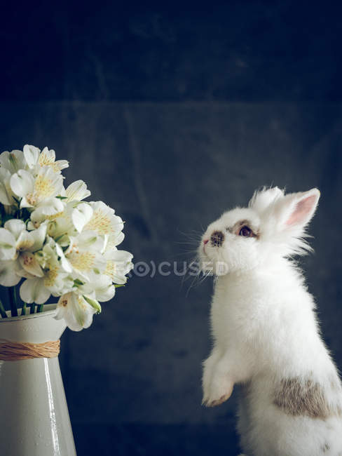Fluffy rabbit and white flowers in vase on dark background — Stock Photo