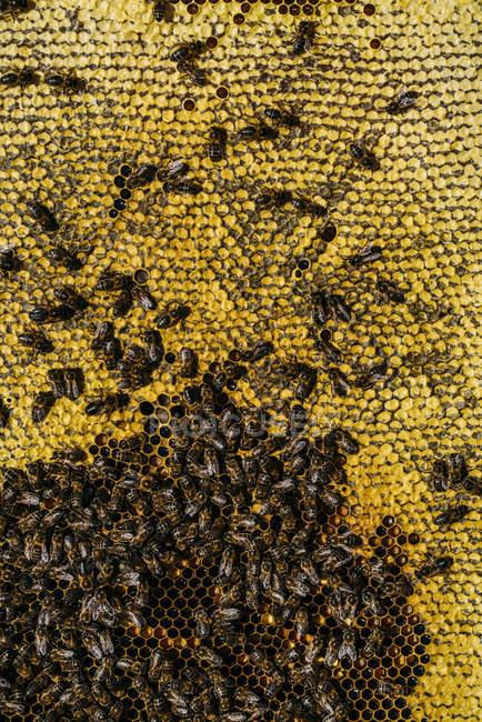 Крупным планом пчелы роиться, работающих на сотовый — стоковое фото