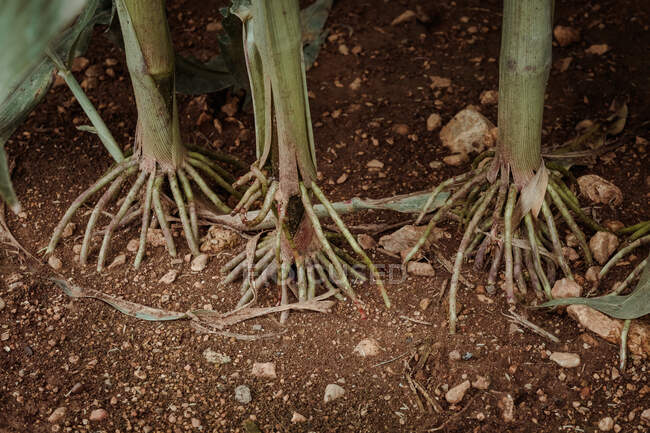 Close up view of sticking out roots of corn on brown soil in cornfield — Stock Photo