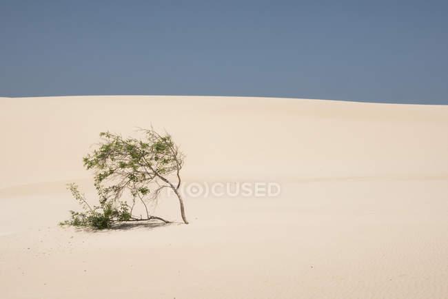 Выращивание зеленых растений на песчаной равнине Канарских островов — стоковое фото