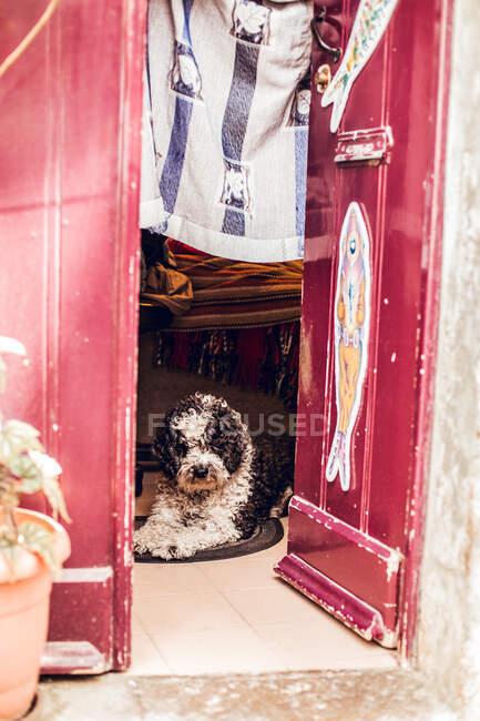 Крихітний чорний і білий пес лежить на маленькому килимі біля дверей у Сінтрі (Лісабон, Португалія). — стокове фото