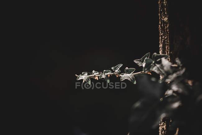 Малі листки на тонкому гілочку на чорному тлі лісу. — стокове фото