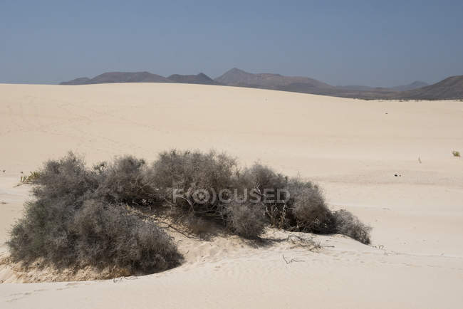 Dry desert plants on sandy dunes with blue sky and mountains, Canary Islands — Fotografia de Stock