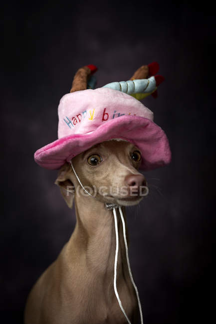 Mignon chien de lévrier italien dans un drôle de chapeau d'anniversaire sur fond noir — Photo de stock