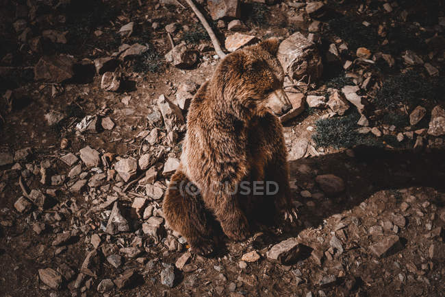 From above of wild brown bear sitting on ground amidst stones in Andorra — Stock Photo