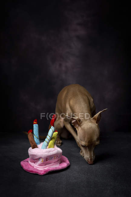 Cute Italian greyhound dog with funny birthday hat on black background — Stock Photo