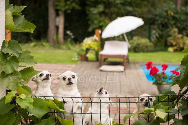 Beaucoup de petits chihuahuas blancs derrière la clôture avec des feuilles vertes autour de la terrasse d'été — Photo de stock