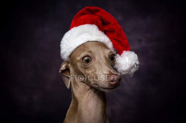 Собака в шляпе Санта-Клауса на темном фоне — стоковое фото
