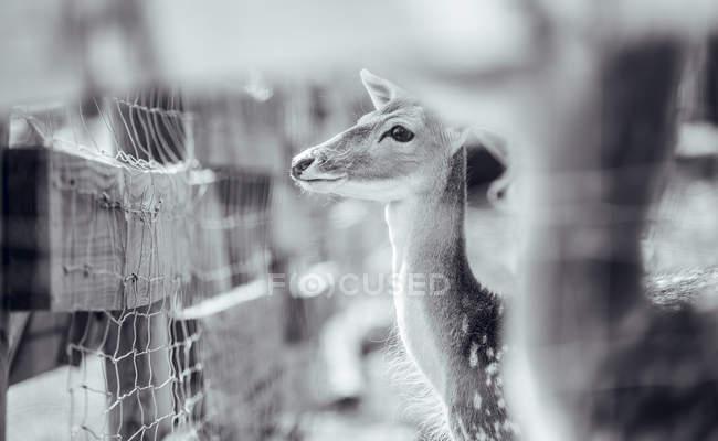 Nahaufnahme von Hirschen, die im Gehege im Zoo stehen — Stockfoto