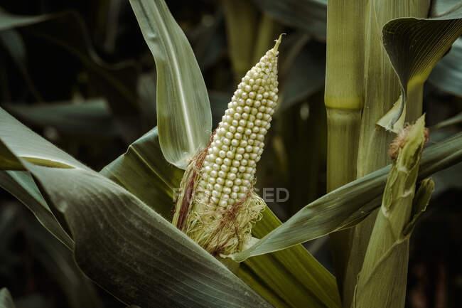 Tasty ripe corn growing between grass in cornfield — Stock Photo