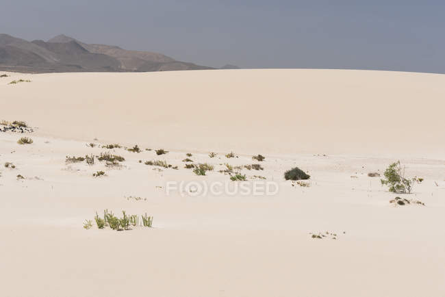 Vegetation plants on sandy plain on Canary islands — стоковое фото