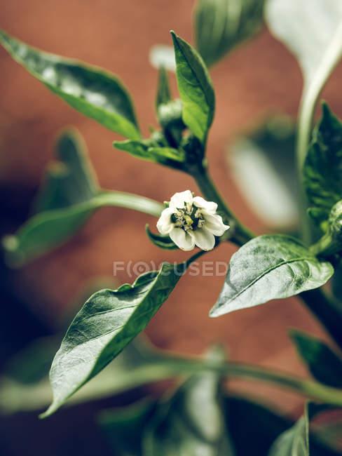 Крупный план маленького белого цветущего цветка на зеленом стебле растения — стоковое фото