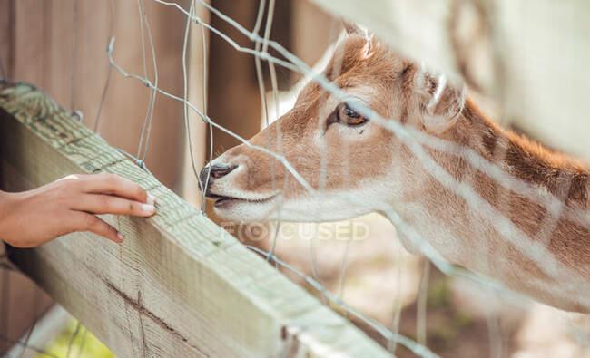 De cerca la mano tirando de la cabeza de ciervo en la jaula en el zoológico - foto de stock