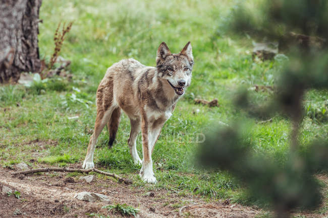Молодой волк стоя на траве в резерве и глядя — стоковое фото