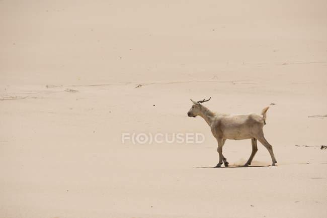 Коза, гуляющая по песку в пустыне Фуэртевентура на Канарских островах — стоковое фото