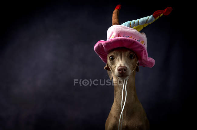 Cute Italian greyhound dog in funny birthday hat on black background — Stock Photo