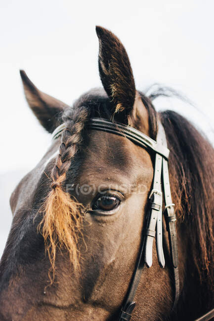 Close-up horse in bridle with braided mare hair looking at camera — Stock Photo