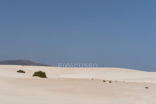 Vegetation bushes on sandy plain on Canary islands — стоковое фото
