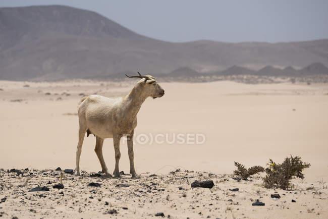 Коза в пустыне Фуэртевентура на Канарских островах — стоковое фото