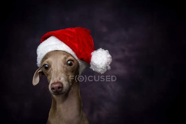Итальянская борзая собака в шляпе Санта-Клауса на тёмном фоне — стоковое фото