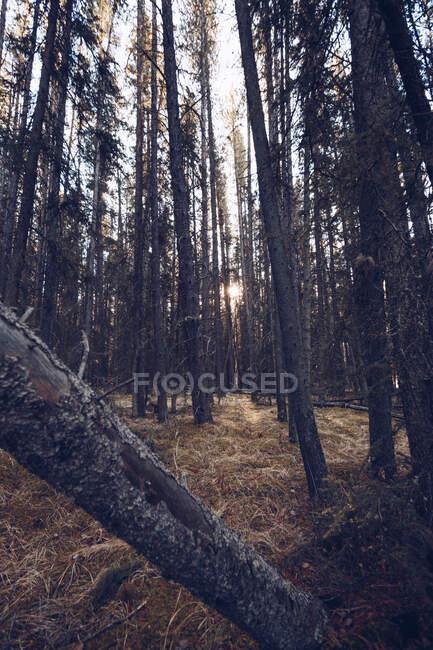 Солнечный свет в густом осеннем лесу с желтой и сухой листвы с высокими фарами и ветвями? — стоковое фото
