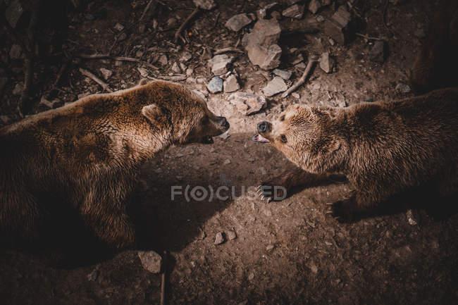 Dall'alto di aggressivi orsi bruni ruggenti e combattimenti mentre in piedi a terra in Andorra — Foto stock