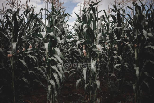 Piante di mais alte che crescono in fila sul campo in Galizia, Spagna — Foto stock