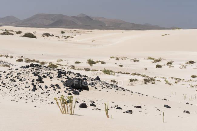 Выращивание зеленых растений и камней на песчаной равнине Канарских островов — стоковое фото