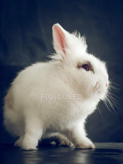 Закри чарівні маленький кролик з білого хутра м'які, сидячи на чорний столик — стокове фото