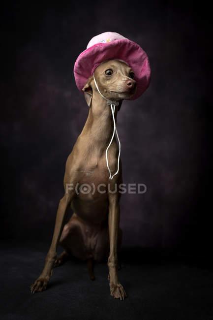 Niedliche italienisches Windspiel Hund in lustige Geburtstag Hut sitzt auf schwarzem Hintergrund — Stockfoto