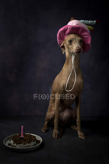 Cute Italian greyhound dog in funny birthday hat with cake on black background — Stock Photo