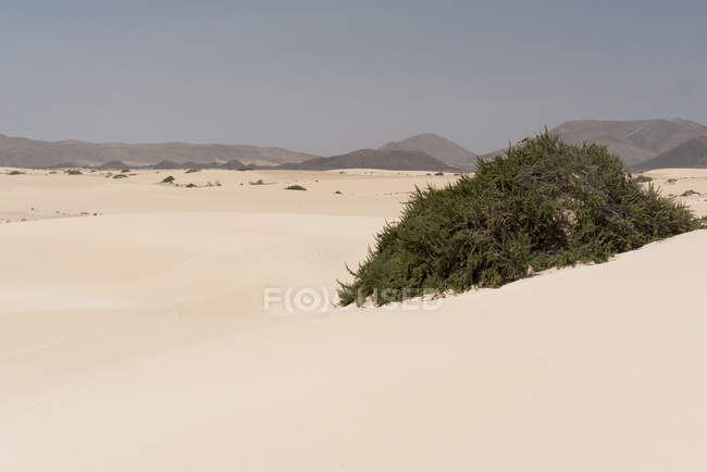 Vegetation green bushes on sandy plain on Canary islands — Stock Photo