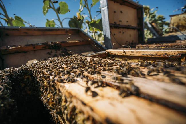 Closeup de enjambre de abejas en la colmena - foto de stock