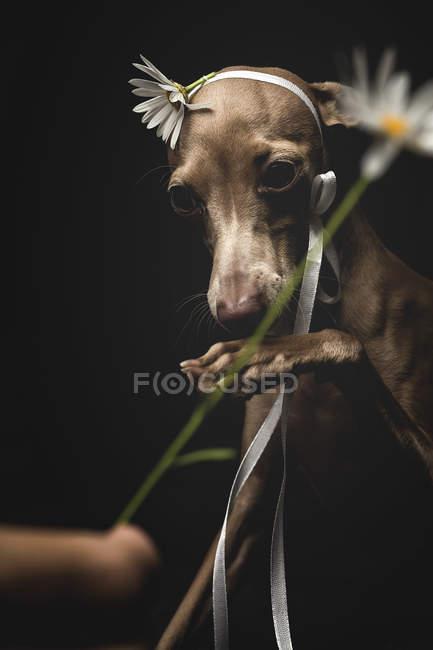 Petit chien italien lévrier jouant avec la fleur de camomille regardant loin sur fond noir — Photo de stock