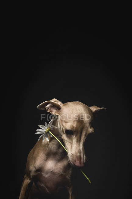 Little italian greyhound dog with chamomile flower on head looking away on black background — Stock Photo