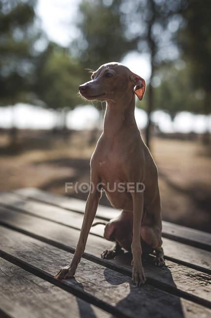 Little italian greyhound dog sitting on wooden table in park — Stock Photo