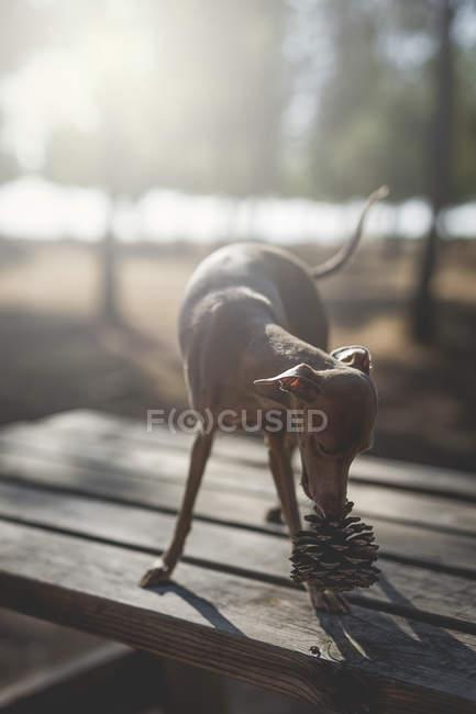 Petit chien lévrier italien debout sur une table en bois avec cône de pin — Photo de stock