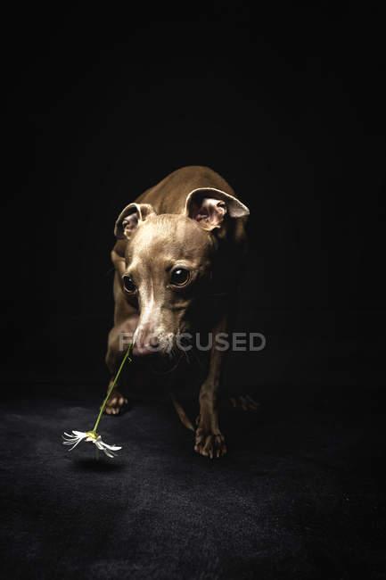 Kleines italienisches Windspiel Hund mit Kamille Blume auf Kopf Wegsehen auf schwarzem Hintergrund — Stockfoto