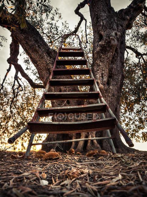 Vieil arbre avec échelle en bois à la lumière du soleil — Photo de stock