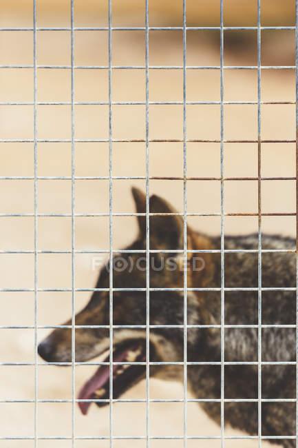 Gros plan du Loup brun regarder loin dans la cage — Photo de stock