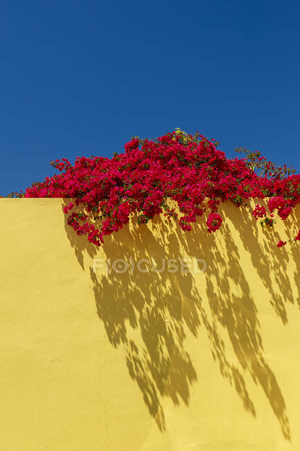 Red flowers on yellow wall, portugal — Stock Photo