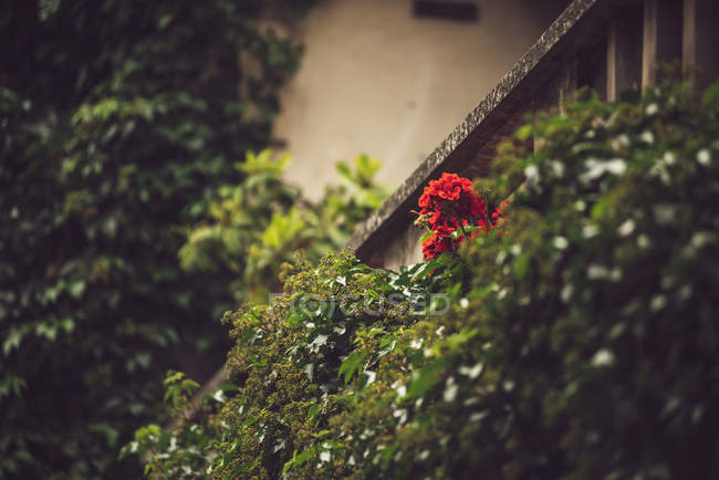 Close-up of red flower growing in green bushes on building wall — Stock Photo