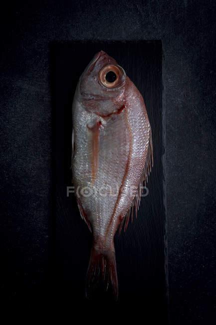 Raw red sea bream on black slate — Stock Photo