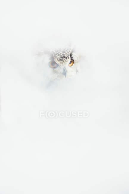 Глава совы с оранжевыми глазами в белом дыму — стоковое фото