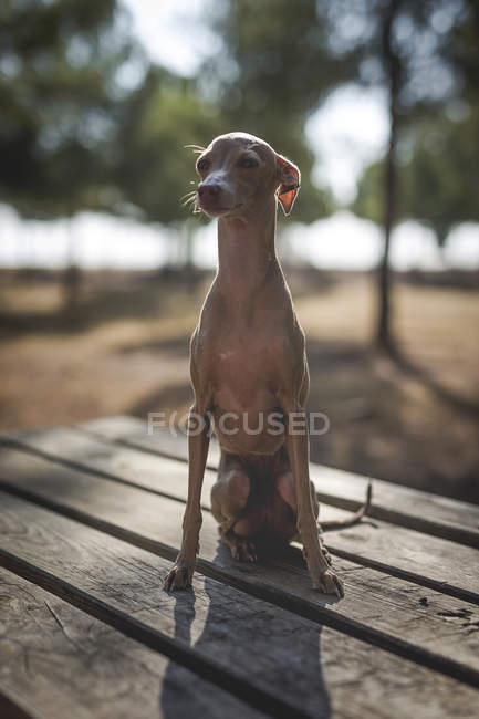 Little italian greyhound dog sitting on wooden table in park — Stock Photo