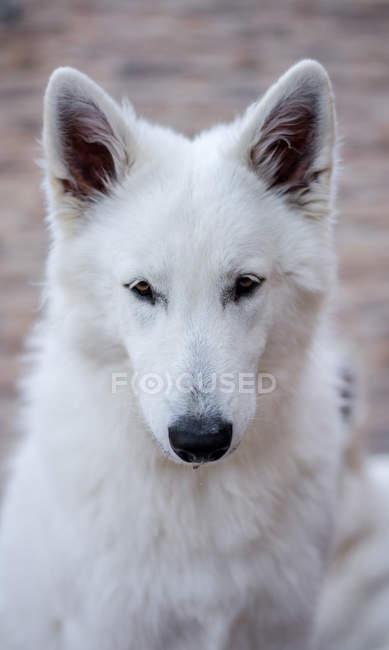 Милая белая швейцарская овчарка смотрит в сторону, сидя на улице — стоковое фото