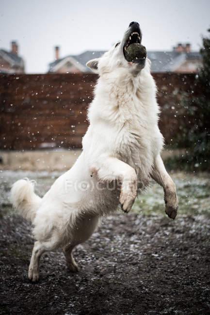 Adorable White Swiss Shepherd catching snow while playing on countryside yard during snowfall — Stock Photo