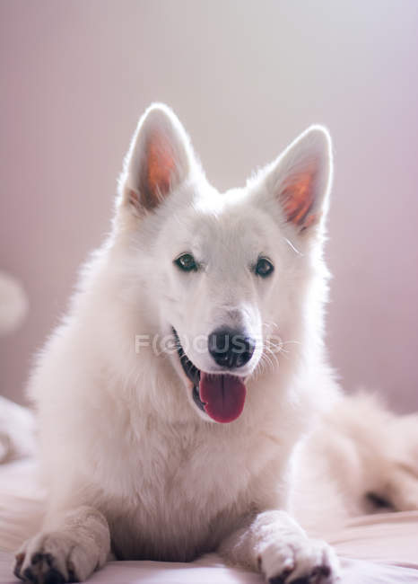 Cute white swiss shepherd lying on bed and looking at camera — Stock Photo
